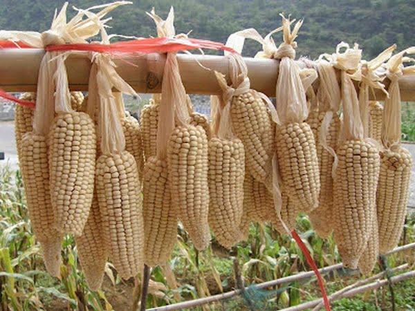 Waxy Maize - HQSC